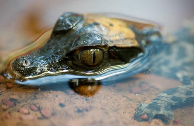 数百只小鳄鱼住在佛罗里达核电站附近